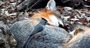 Pájaros que roban el pelo a mamíferos vivos para crear sus nidos: científicos documentan un inusual fenómeno natural