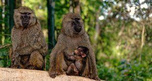 Descubren la conmovedora razón por la que las mamás primates cargan a sus bebés muertos